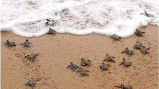 Endagered Baby Turtle Release in Acapulco